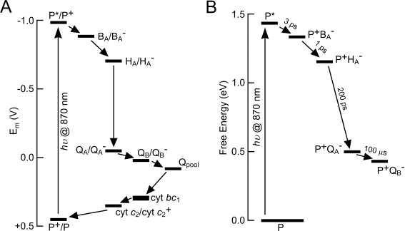 light reactions photosystem diagram basic car wiring diagrams bacterial photosynthesis redox potential and energetics of electron transfer in the rba sphaeroides a formation excited state through absorption