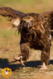 black-vulture-vertical