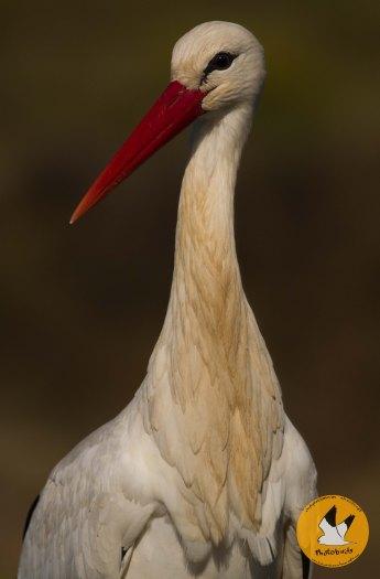 white-stork