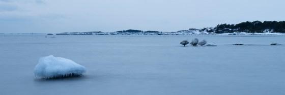 Whooper Swans roosting.