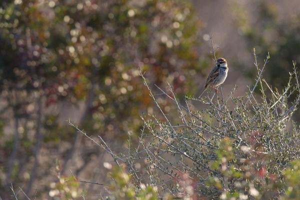 Spanish Sparrow   spansk sparv   Passer hispaniolensis