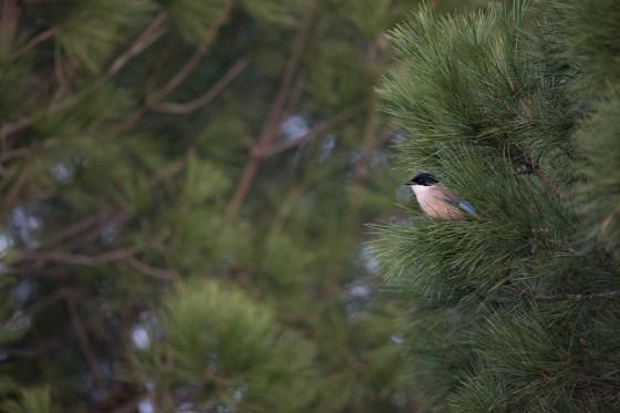 Iberian Magpie | iberisk blåskata | Cyanopica cooki