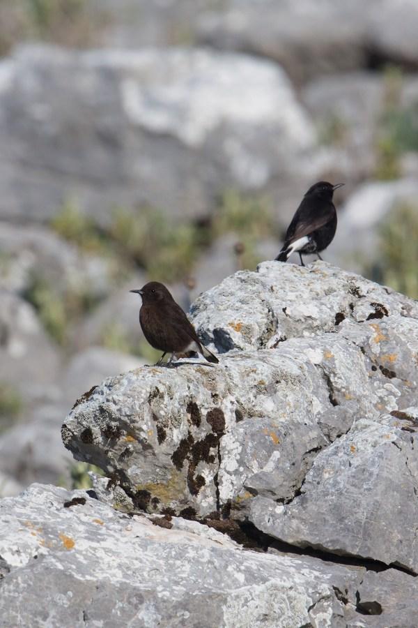 Black Wheatear   svart stenskvätta   Oenanthe leucura