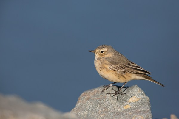 Buff-bellied Pipit | hedpiplärka | Anthus rubescens