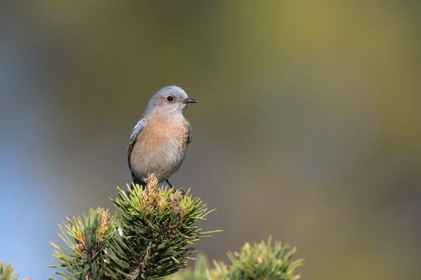 Western Bluebird | västsialia | Sialia mexicana