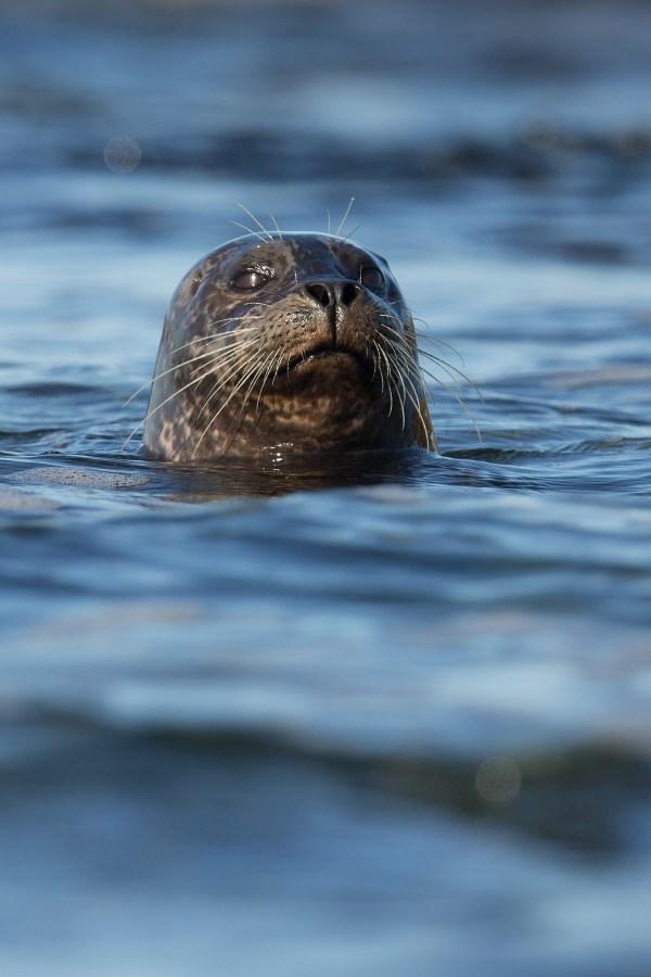 Harbor Seal | Knubbsäl | Phoca vitulina