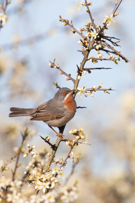 Subalpine Warbler | rödstrupig sångare  | Sylvia cantillans