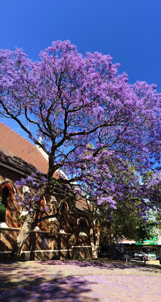 purple blooms on tree outside a church