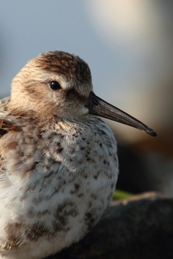 Closeup of the least skittish of the Dunlins. I could have reached out and grabbed it after this shot was taken.