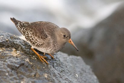 Purple Sandpipers breed in the Arctic, and prefer rocky shores both there and during migration.
