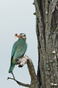 European Roller having a bit to eat. EOS 1D with 500mm f4. Click to enlarge.