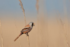 It was a windy day, so I took advantage of the swaying reeds to shoot when the bird came out of cover briefly.