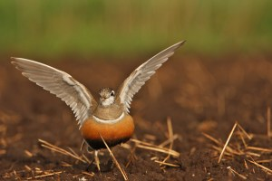 Euroasian Dotterel, migrant photographed near Skjern in western Jutland on May 10th 2014.