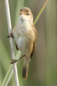 Reed warbler shot with EOS 1Ds mkiii and Canon EF 300mm L IS USM, and Canon Extender EF 1.4x mkii, plus Kenko Pro 300 1.4 TC
