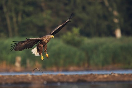 Here comes the adult eagle