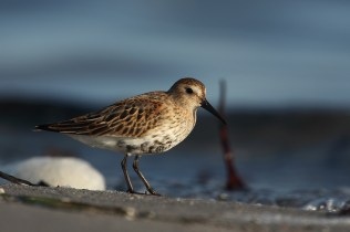 Some times dunlins are completely at ease with photographers, and sometimes they are real skittish. These were in the latter bracket.