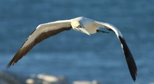 A cape gannet flying in to land at the colony on Bird Island, Lambert's Bay. EOS 7D mkii with EF 300mm f4 and TC1.4x mkii. ISO 200, f7.1, 1/640sec, underexposed by 1/3 stop.