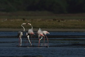 Greater Flamingoes at Hermanus. EOS 7D mkii with 600mm. ISO 100, f6.3, 1/1000sec. Underexposed 0.7 of a stop