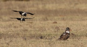 Brown snake eagle with pied crows. The snake eagle had just finished eating the rear half of what I believe was a cape cobra, and the crows wanted the other half. Not sure what the purpose of the formation flying was. EOS 7D mkii with 600mm and 1.4tc, ISO 200, f6.3, 1/1250sec, underexposed 1 stop.