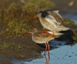 """...you stand still now..."" The Redshank doing a little balancing act."
