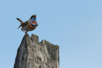 Northern bluethroat singing from a favourite songpost.