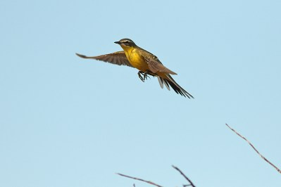 Trying to get in-flight images of the yellow wagtails.
