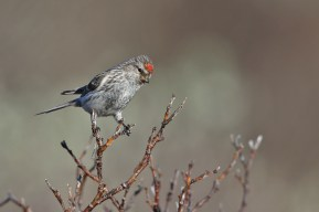 Common Redpoll, female right above her nest. I didn't linger.