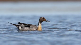 Pintail in full breeding attire.