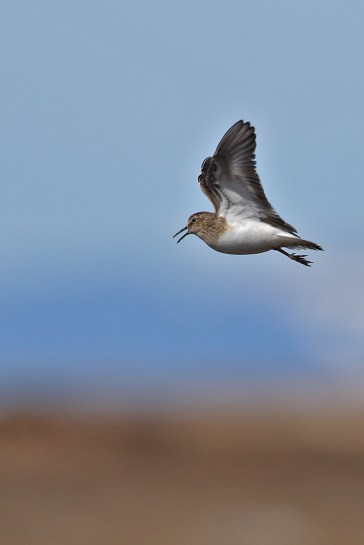 Temmincks stint in display flight.