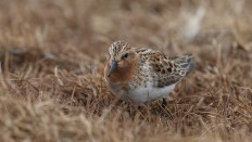 """Slightly smaller than the spoon-billed sandpiper, and with a """"normal"""" bill, the red-necked stint is one of 7 species of stints globally. My travel companion Jens Gregersen is one of a few global experts on identifying stints."""