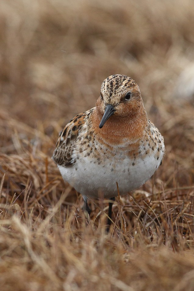Red-necked stint portrait