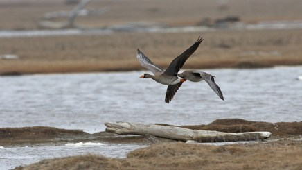 """White-fronted geese over the tundra. This image is more like a """"landscape with geese! and shows the place we visited quite well, not least how it looks on the frequent days when the sun isn't out."""
