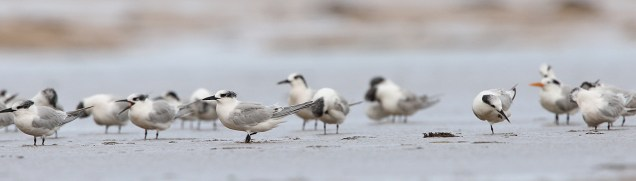 Sandwich Terns, with a Lesser Crested thrown in.