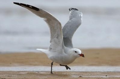 Audouins Gull