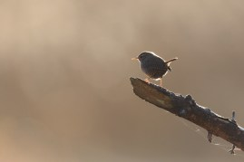 Eurasian Wren against the afternoon sun.