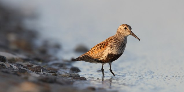 The secret to getting attractive images of waders is to get low, and get them in nice light.