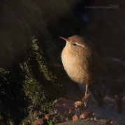 The Eurasian wren is really a bit too small for Danish winters. Too much heat loss, too little to eat.