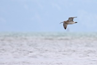 Eurasian curlew (Numenius arquata) against an Alpine background.
