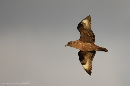 Great skuas patrol the cliffs alongside the Sea eagles, but are more aggressive in their foraging habits.