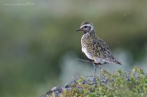 The Golden plover isn't actually from Runde - it was photographed on the Hemsedalsfjellet.