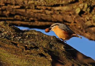 Nuthatch working an acorn in the last sunrays. Notice the nice reflection in the bird's eye.