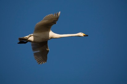 Whooper swan in midwinter afternoon light...