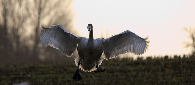 And another Whooper, landing just after sunset.