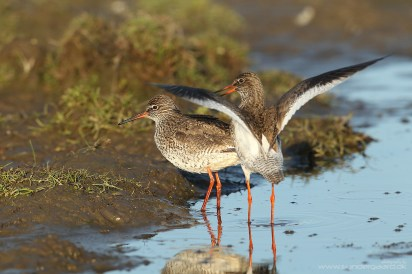 Common redshank (Tringa totanus) getting ready for a quickie. A good example of why shooting ground-dwelling birds out of a car window isn't ideal. EOS 1DIV with EF 600mm 1/1000 f7.1 ISO400