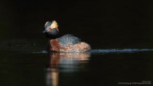 """The Horned grebe (Podiceps auritus) is in low but direct sunlight, and the background is in shade. The image is underexposed by 2/3 of a stop (two """"clicks"""" left on the big thumb dial on the back of advanced Canon cameras, or two """"clicks"""" left on the little index finger wheel while keeping the Av+/- button depressed) to keep the back of the bird from burning out, and again, as with the Mute swan, this helps tone down the background so that nothing gets in the way of appreciating the handsome bird."""