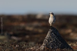 The Wheatear (oenanthe oenanthe) is on the verge of getting burntout patches on its sunny flank. If there had been less sky in the background, and more dark Siberian tundra, the image should have been underexposed compared to the Av settings suggested by the camera.