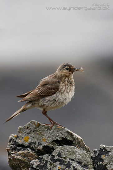 The Rock pipit (Anthus petrosus) is a great example of a situation where the camera is perfectly capable of getting everything right. Here, the background and the bird are similar in their light reflective properties, and there's nothing to confuse the meter.