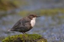 Den voksne fugl tager en kort pause på en fotogen sten.