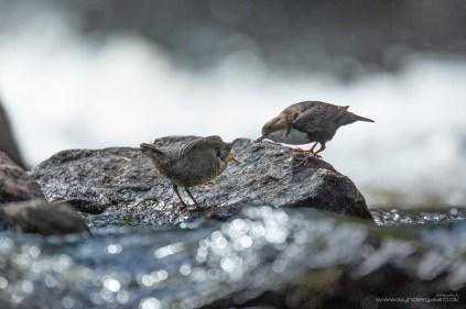 Vandstæren (Cinclus cinclus) har travlt med at fodre sine tre unger - selvom de sådan allerede kan selv, er det jo nemmere at tigge hos mor!