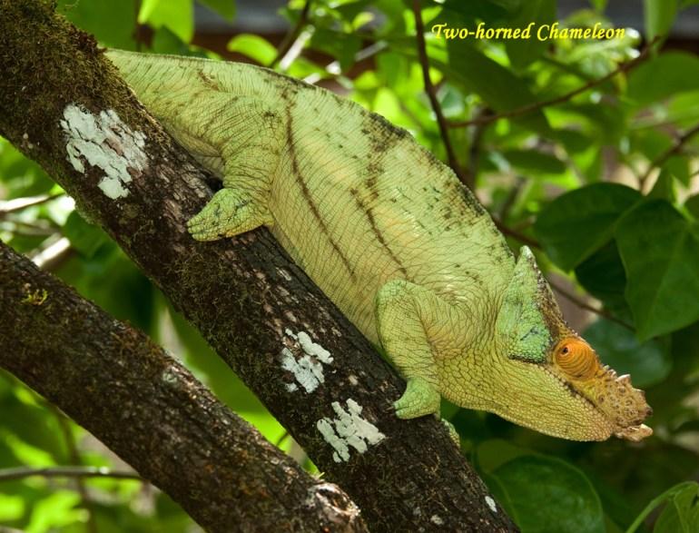 Madagascar-Ann-Kugel-2-horn-cham-excellen_edited-1-saadj